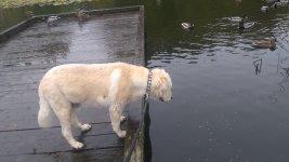 Beau Bear at the duck pond 1.jpg